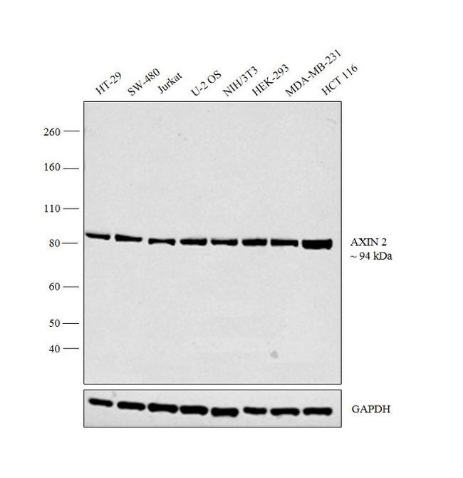 AXIN2 Antibody in Western Blot (WB)
