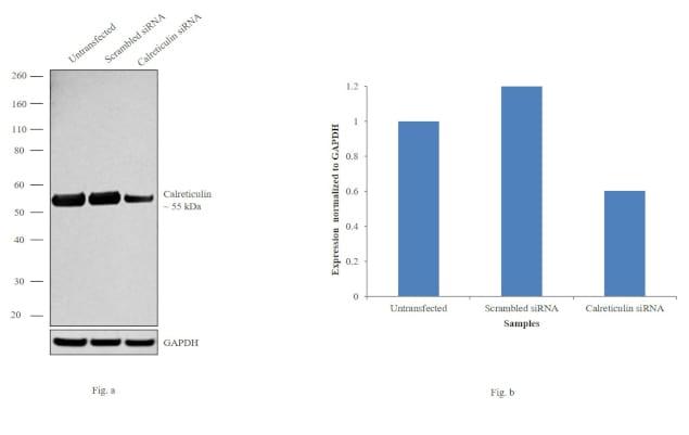 Calreticulin Antibody in Knockdown