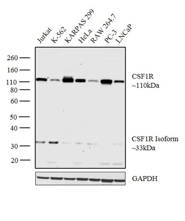 CSF1R Antibody in Western Blot (WB)