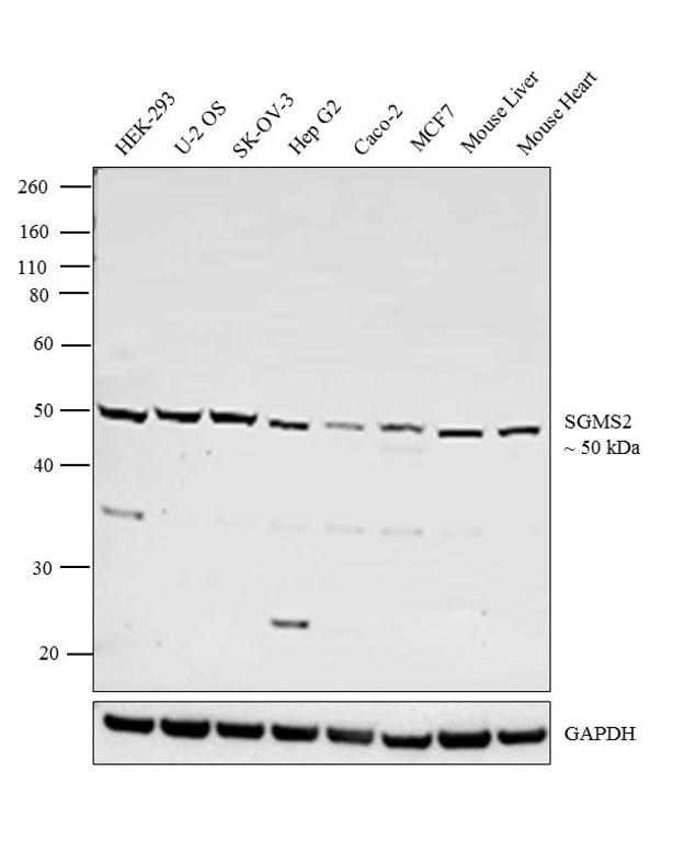 SGMS2 Antibody in Western Blot (WB)