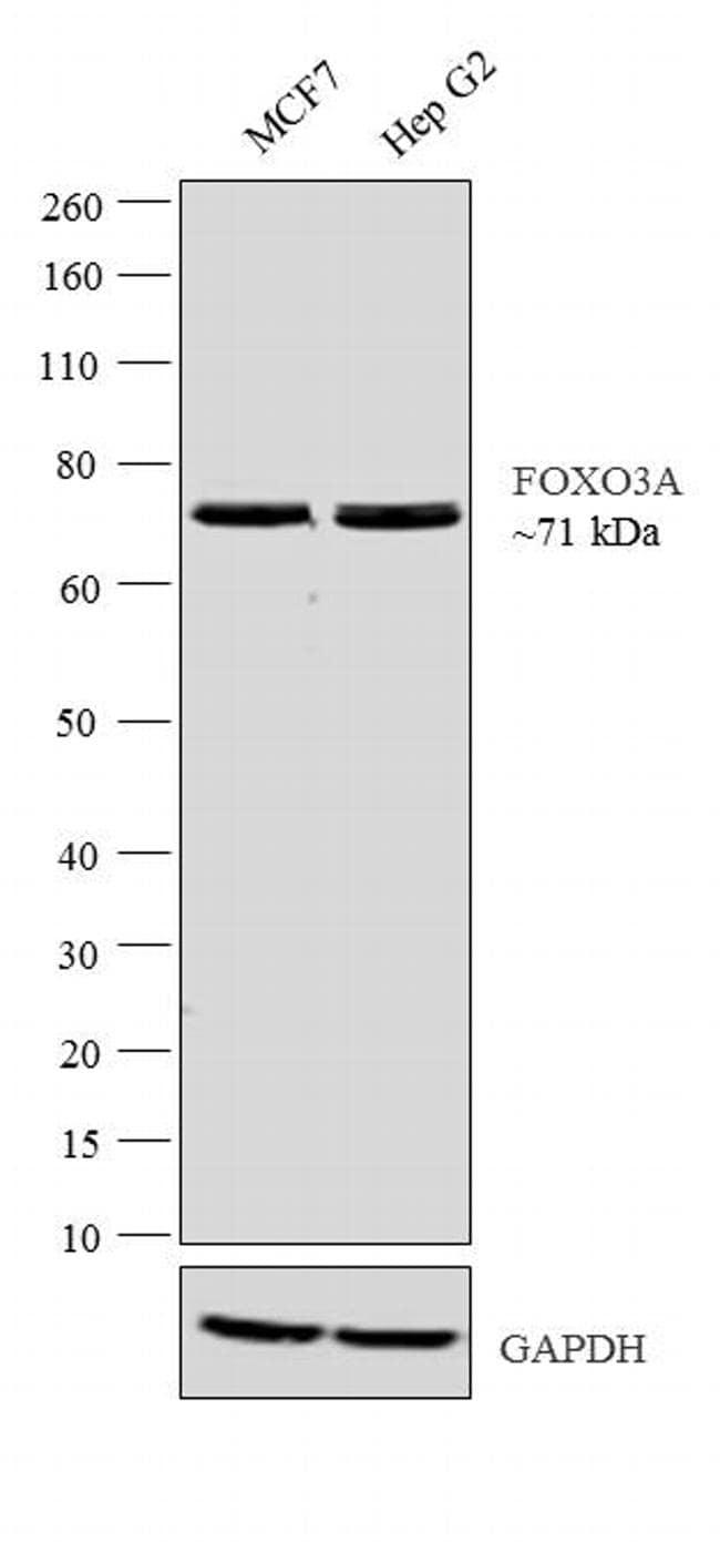 FOXO3A Antibody in Western Blot (WB)