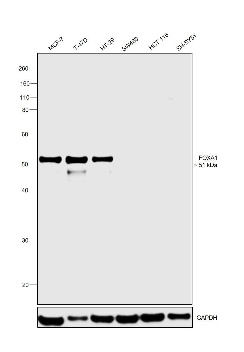FOXA1 Antibody in Relative expression