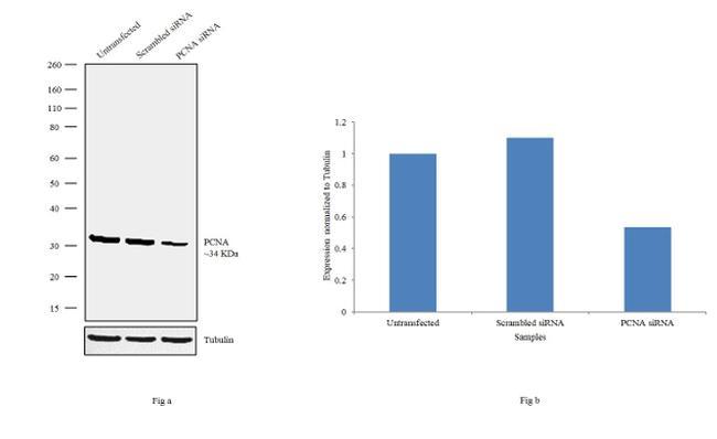 PCNA Antibody in Knockdown