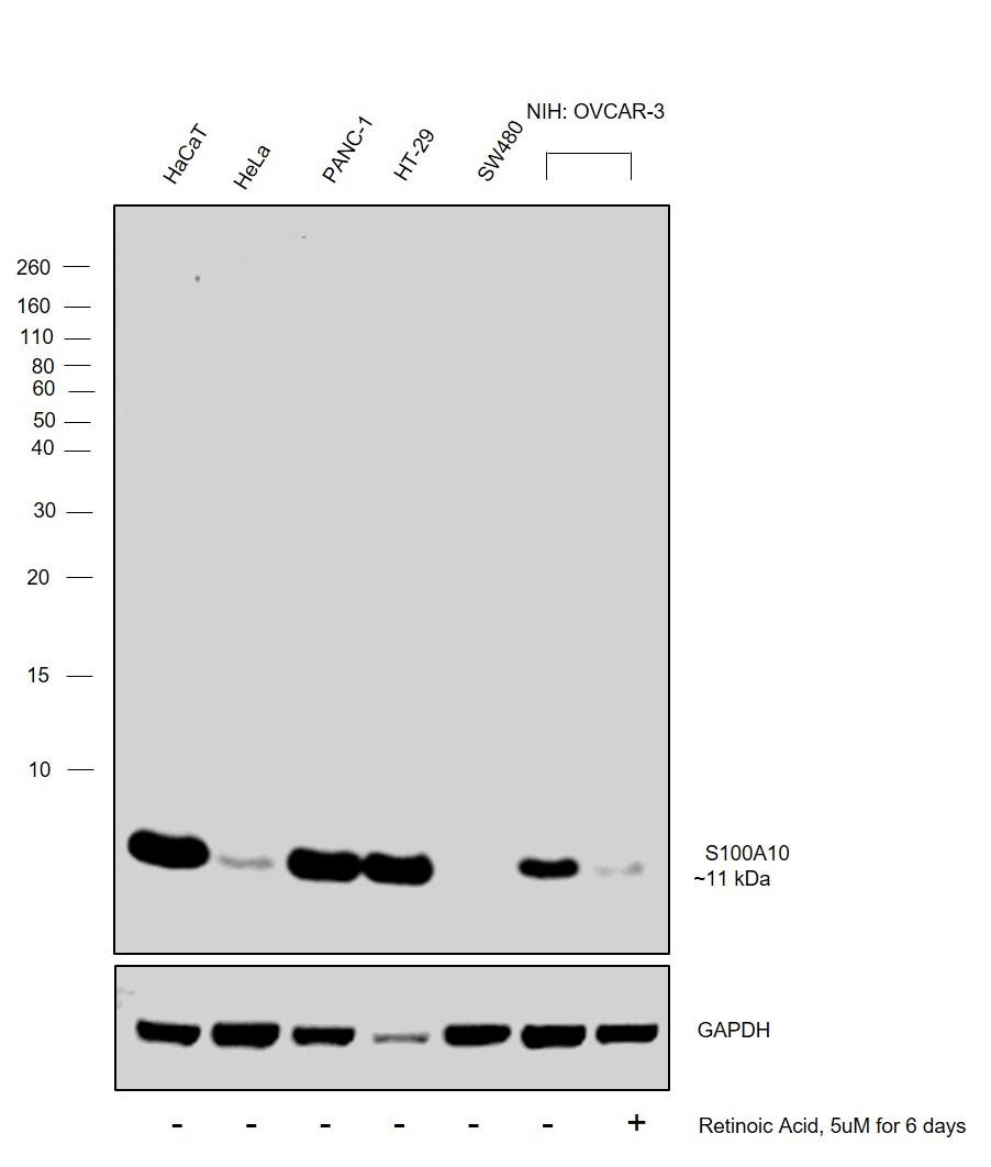 S100A10 Antibody