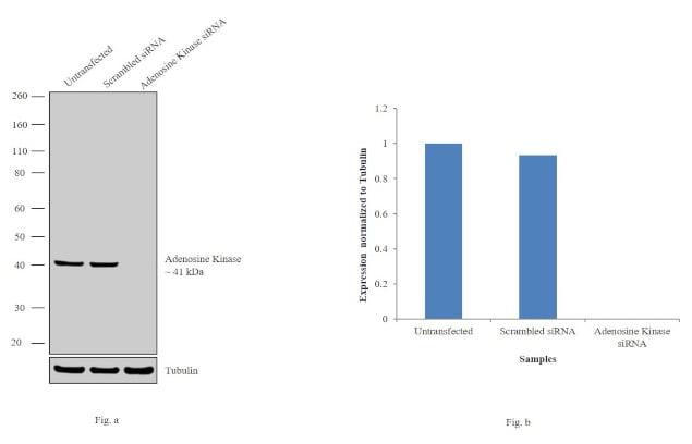 Adenosine Kinase Antibody in Western Blot (WB)