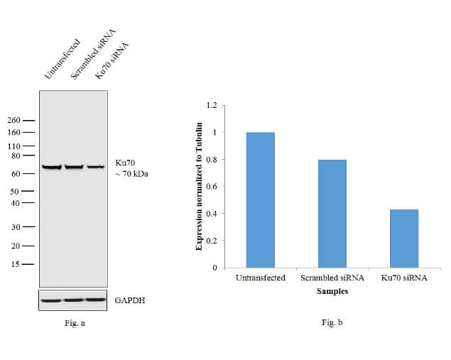 Ku70 Antibody in Knockdown