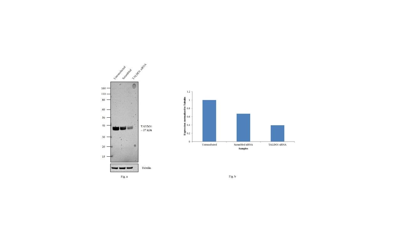 TALDO1 Antibody in Knockdown