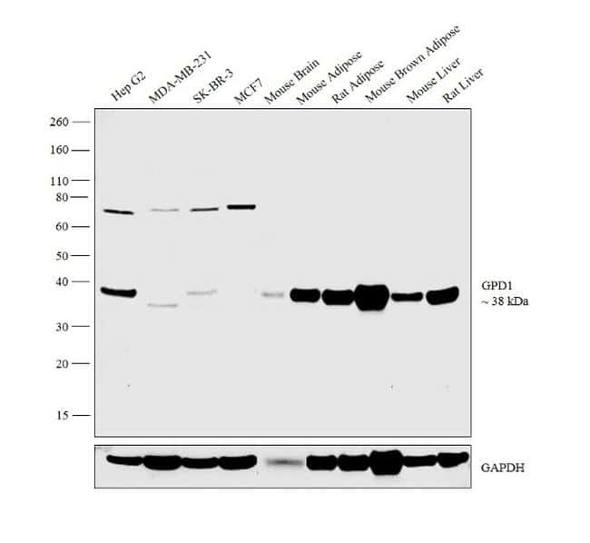 GPD1 Antibody in Relative expression