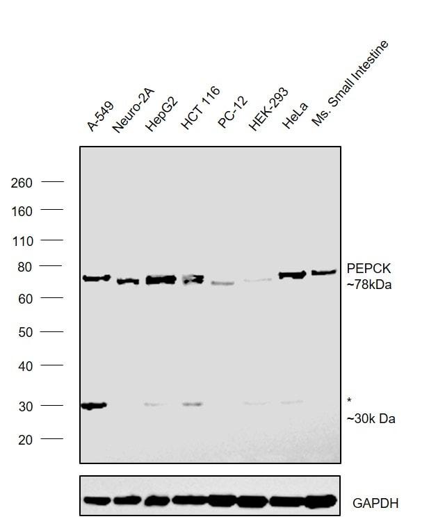 PCK2 Antibody in Western Blot (WB)