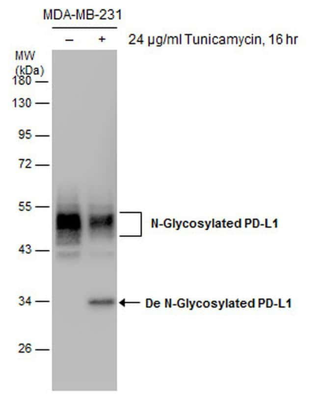 PD-L1 Antibody in Western Blot (WB)