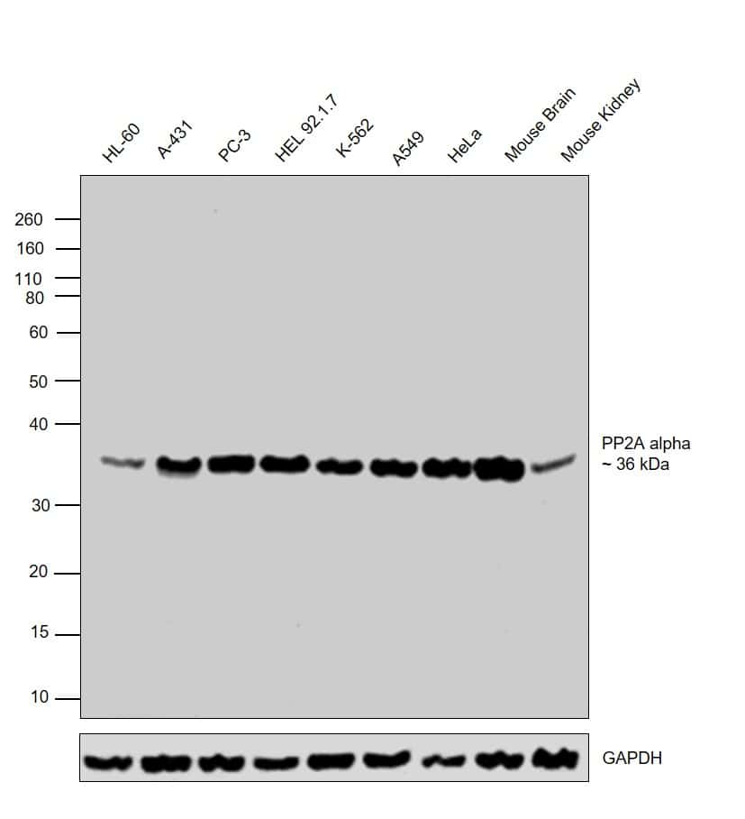 PP2A alpha Antibody in Western Blot (WB)