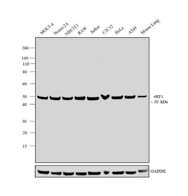 eRF1 Antibody in Western Blot (WB)