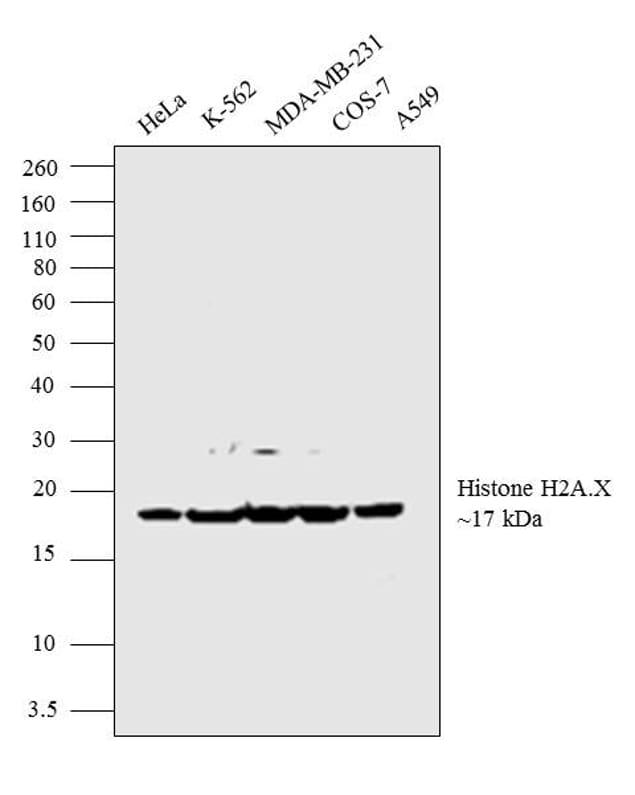 Histone H2A.X Antibody in Western Blot (WB)