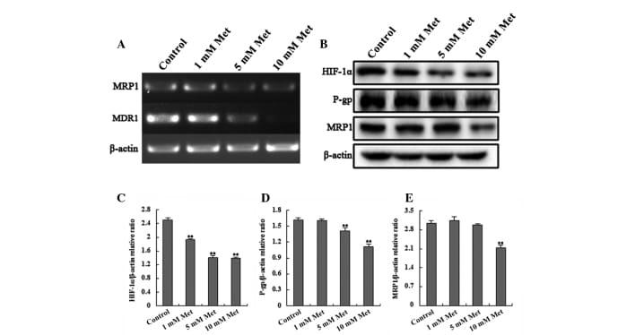 MRP1 Antibody