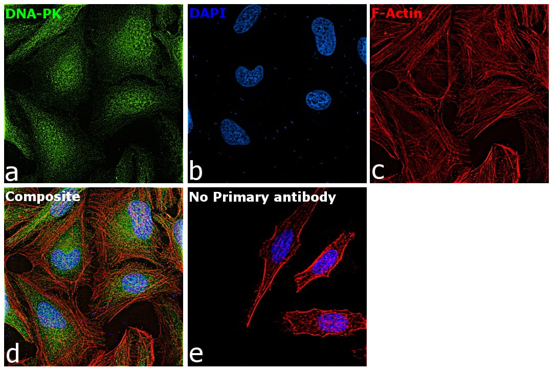 DNA-PK Antibody in Immunofluorescence (IF)