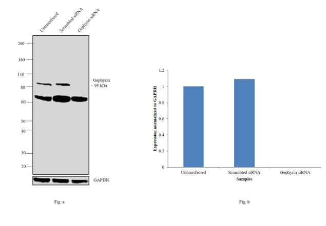 Gephyrin Antibody in Knockdown