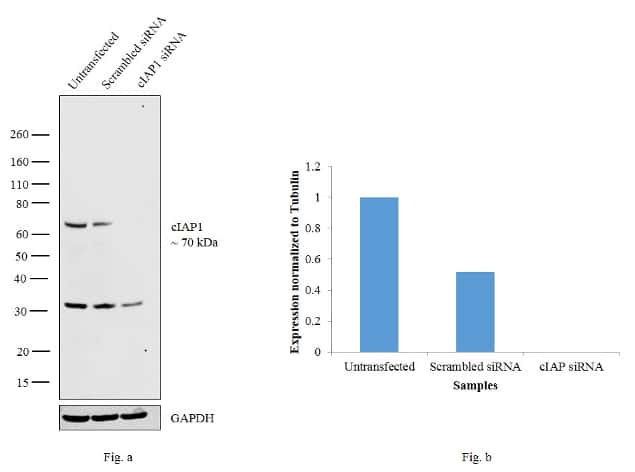 cIAP1 Antibody in Knockdown