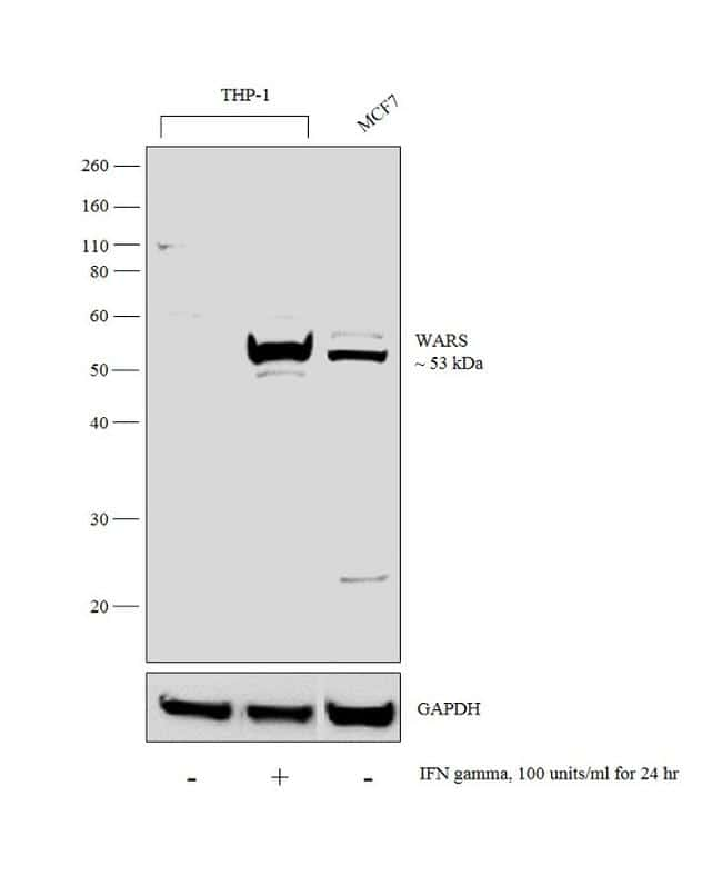 WARS Antibody in Cell treatment