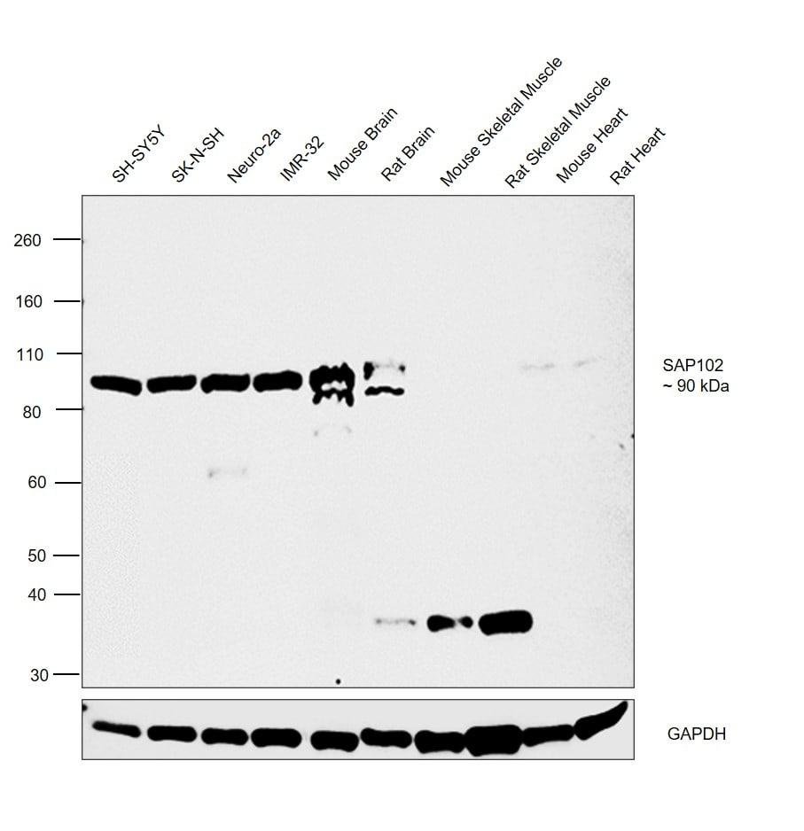 SAP102 Antibody in Relative expression