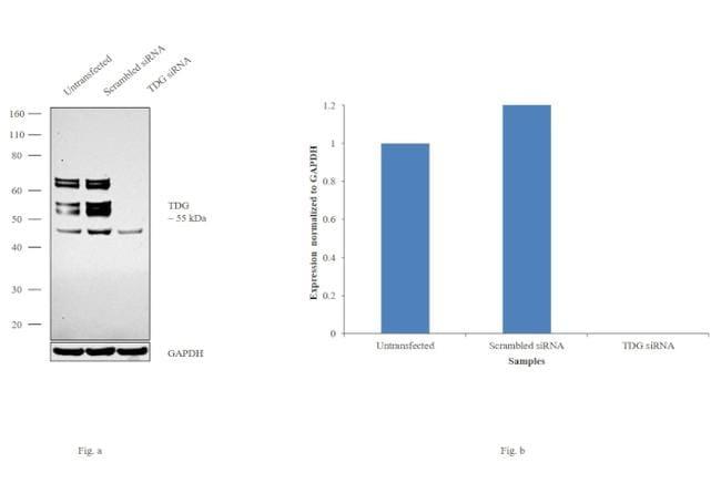 TDG Antibody in Western Blot (WB)