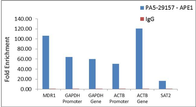 APE1 Antibody in Relative expression