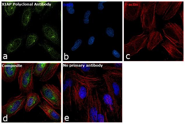 XIAP Antibody in Immunofluorescence (IF)