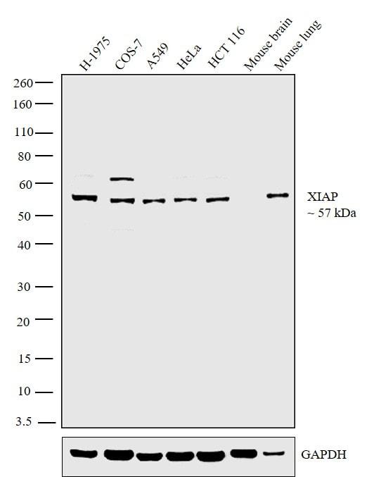 XIAP Antibody in Western Blot (WB)
