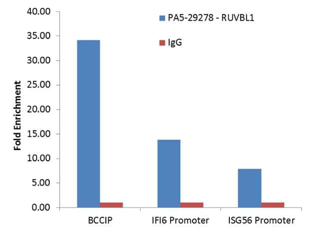 RUVBL1 Antibody in Relative expression
