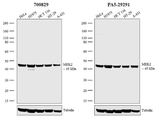 MEK2 Antibody in Independent antibody