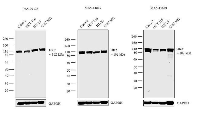 HK2 Antibody in Independent antibody