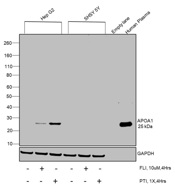 ApoA1 Antibody in Relative expression