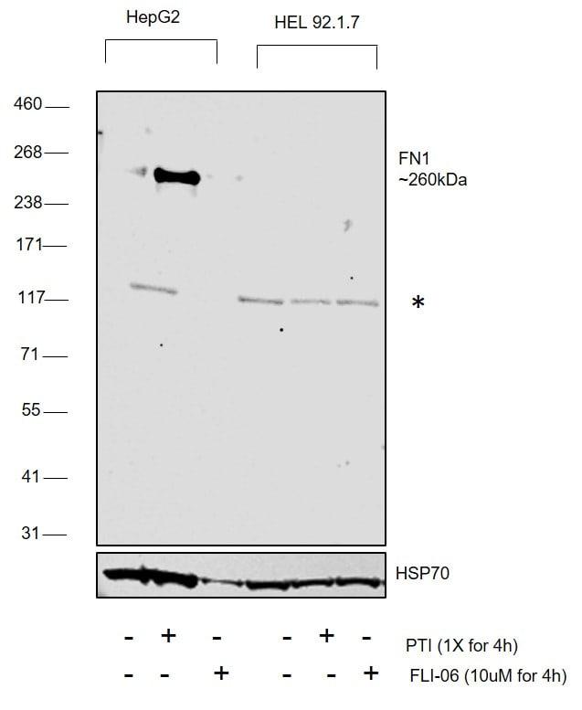 Fibronectin Antibody in Western Blot (WB)
