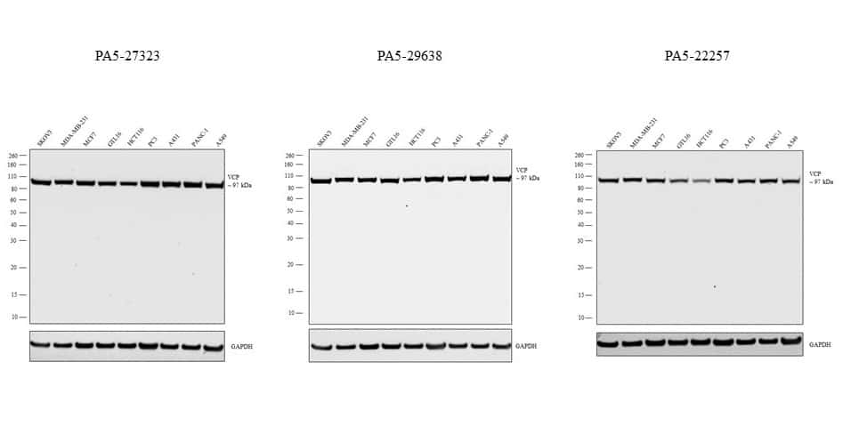 VCP Antibody in Independent antibody