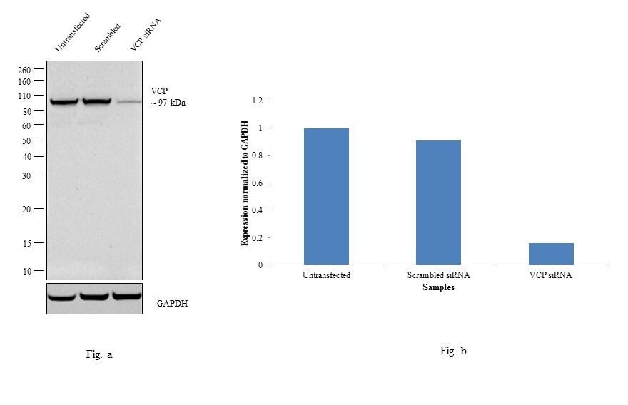 VCP Antibody in Western Blot (WB)