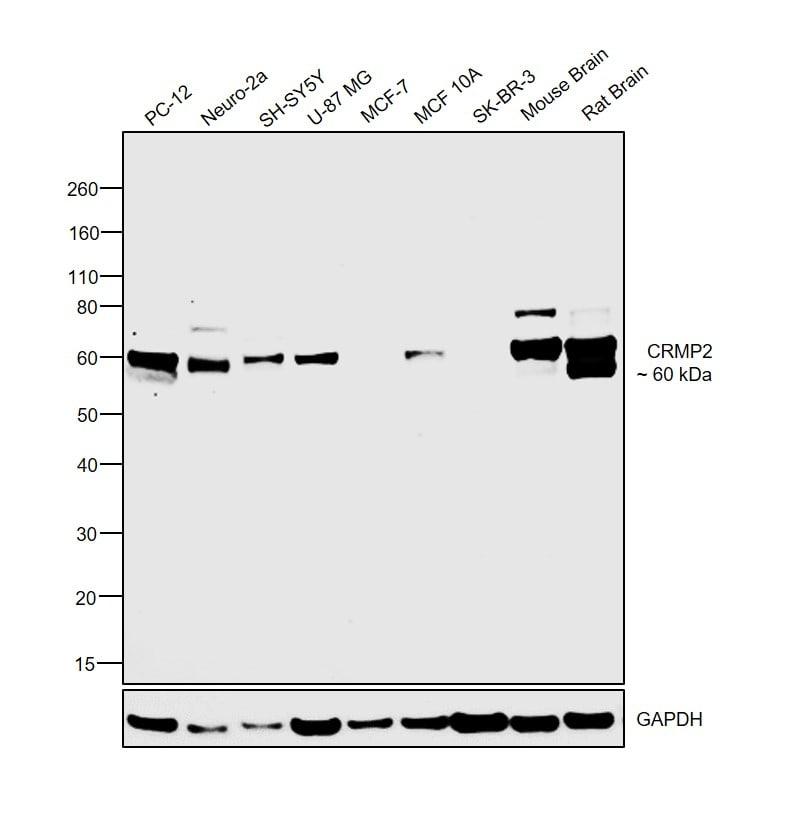 CRMP2 Antibody in Relative expression