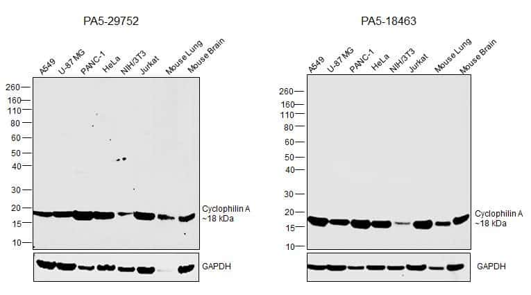Cyclophilin A Antibody in Inhibition Assays