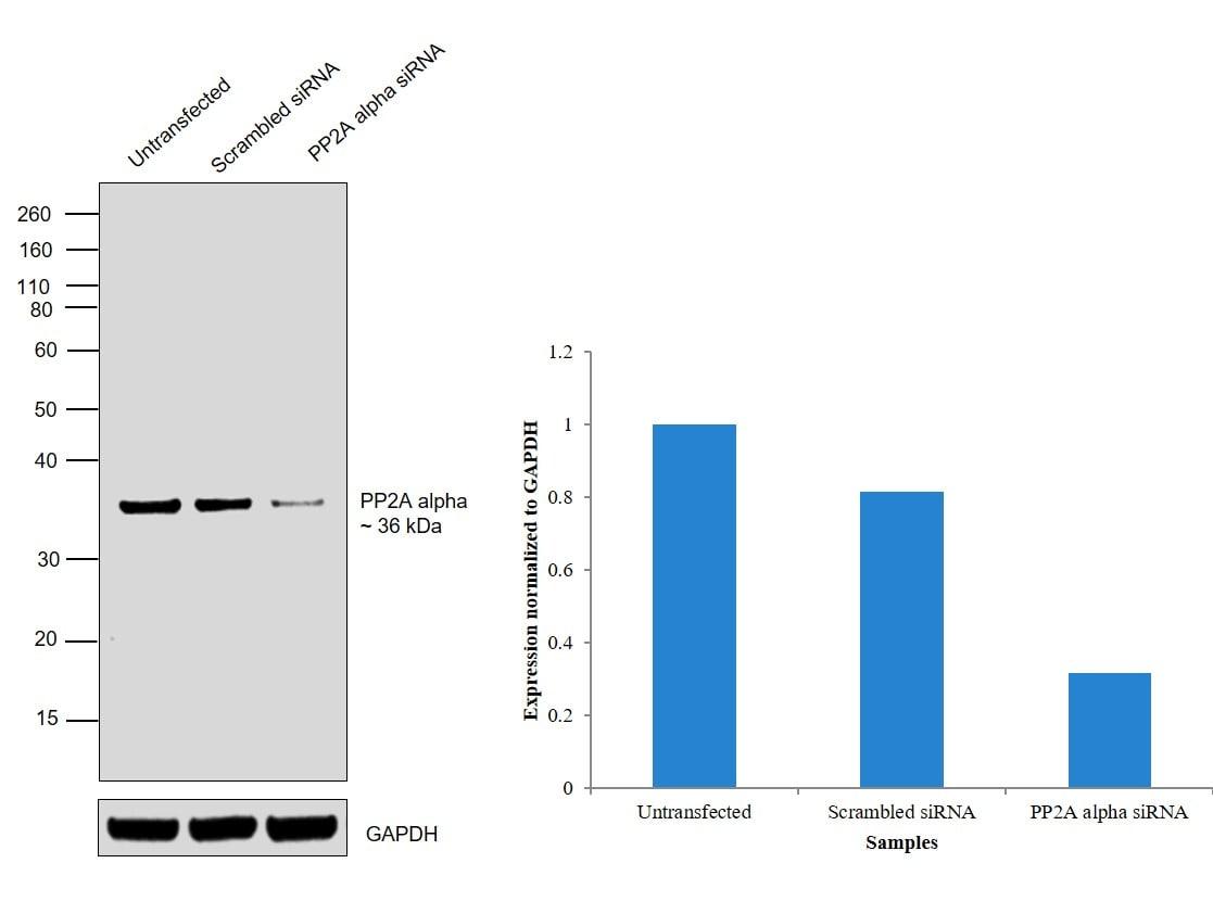 PP2A alpha Antibody in Knockdown