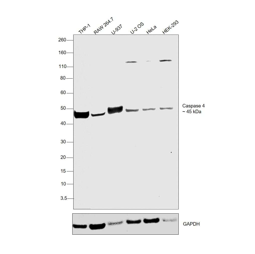 Caspase 4 Antibody in Relative expression