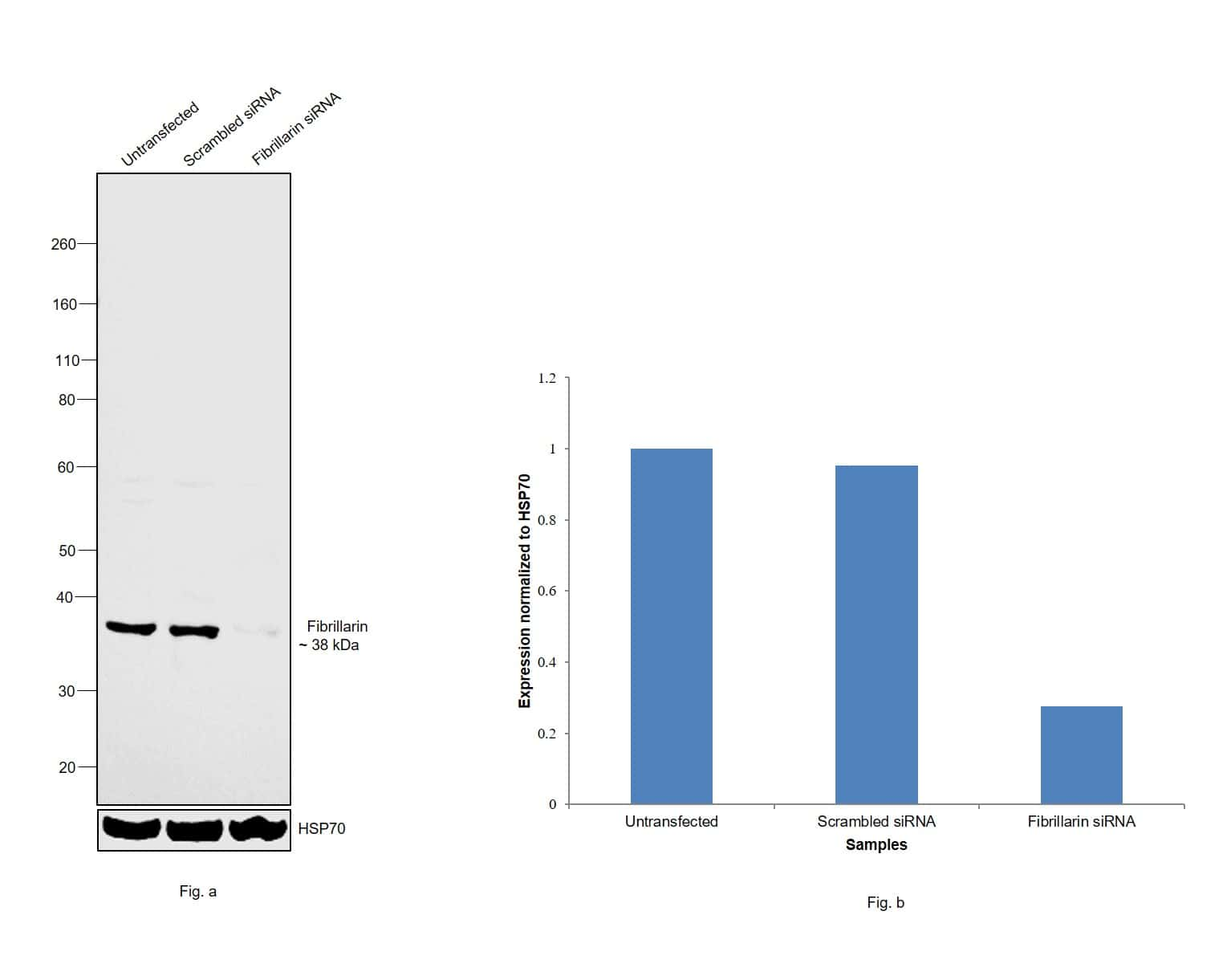Fibrillarin Antibody in Knockdown