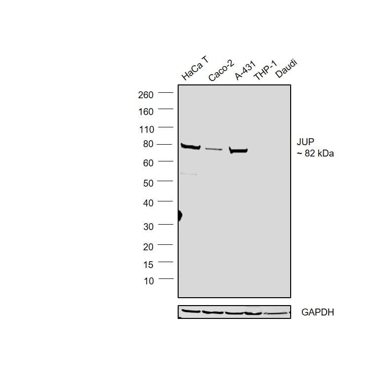 gamma Catenin Antibody in Relative expression