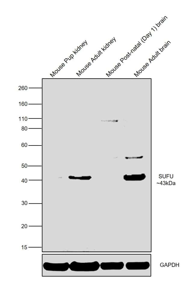 SUFU Antibody in Relative expression
