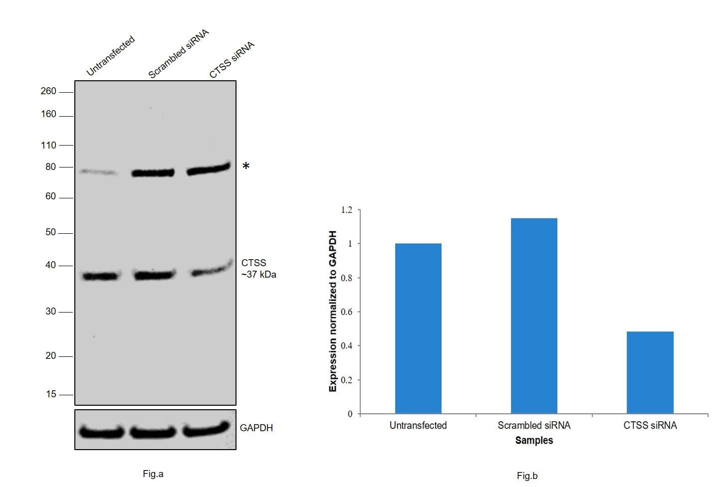 Cathepsin S Antibody in Western Blot (WB)