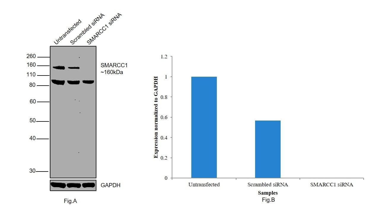 SMARCC1 Antibody in Western Blot (WB)