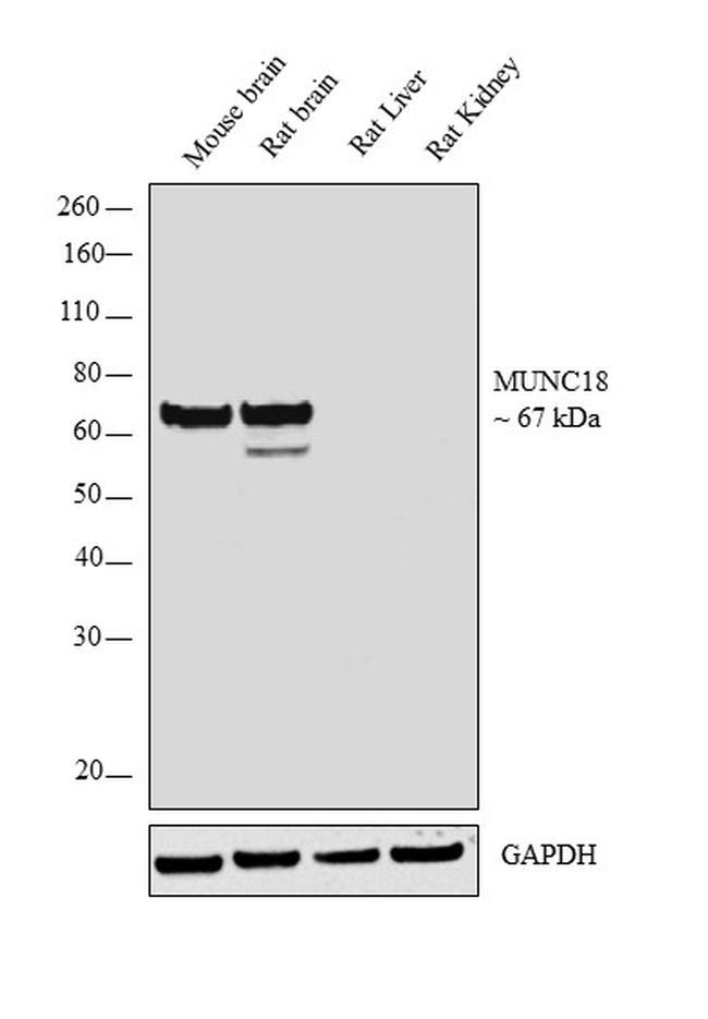 MUNC18 Antibody in Western Blot (WB)