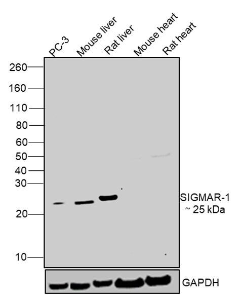 Sigma-1 Receptor Antibody in Relative expression