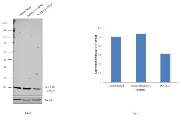 POLR1D Antibody in Western Blot (WB)