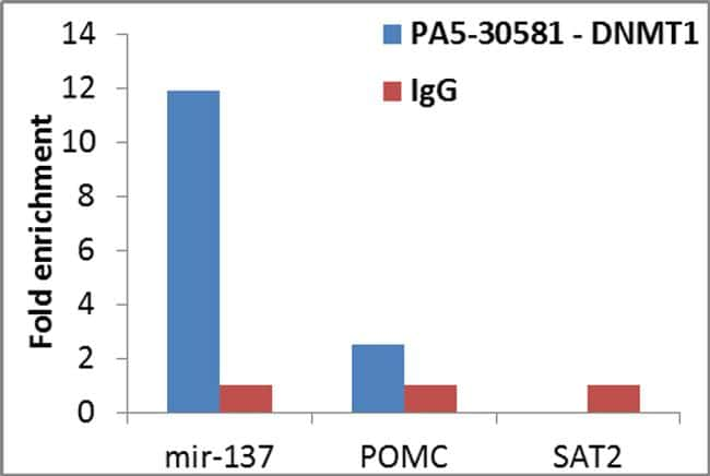 DNMT1 Antibody in Relative expression