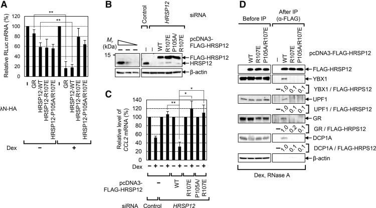 HRSP12 Antibody