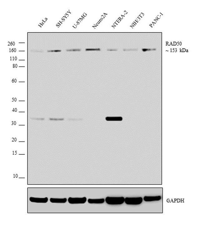 RAD50 Antibody in Western Blot (WB)