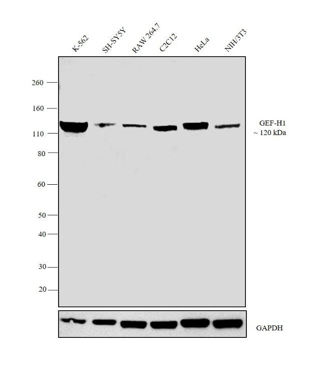 GEF-H1 Antibody in Western Blot (WB)